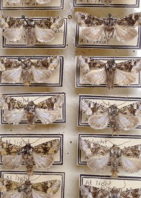 Asher Treat moth vouchers waiting curation
