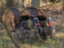 Two male turkeys strutting their stuff at Blendon Woods metro park in April 2015 (photo by Alex Eberts)