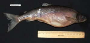 A Bloater, OSUM 117265, with distended abdomen due to filled gas bladder