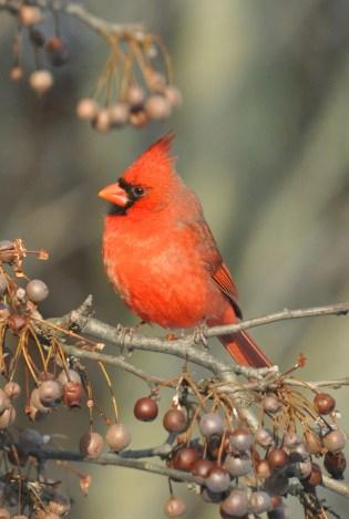 male Northern Cardinal, photo by Rich Bradley