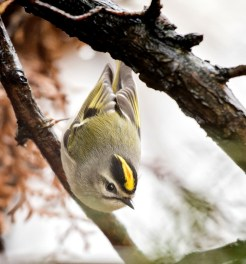 Golden-crowned Kinglet. Photo by Chris Collins