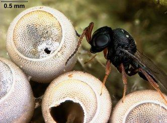 Trissolcus euschisti, an egg‐parasitoid of stink bugs