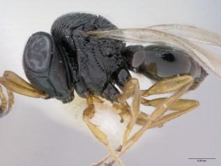 Trissolcus edessae, hymenopteran parasitoids in the family Scelionidae