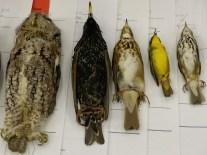 bird skins
