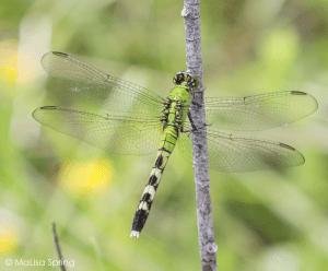 Eastern pondhawk (pond skimmer)