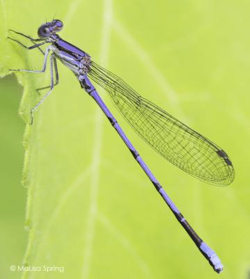 Violet dancer (pond damselfly)