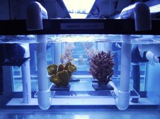 Corals in Ocean Acidification project tank