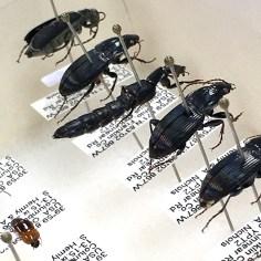 Beetles mounted by Jan