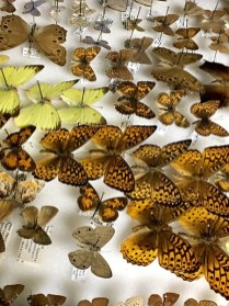 Butterfly backlog at Ohio State