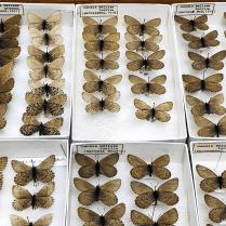 Oeneis melissa gibsoni, aka Melissa Arctic butterfly