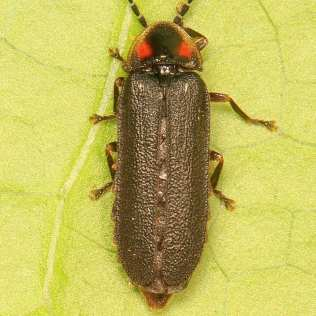 Lucidota punctata, photo by Judy Gallagher