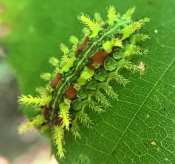 Spiny Oak Slug caterpillar (Euclea delphinii)