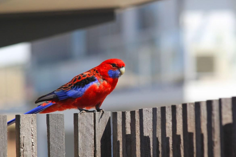 Попугайчик на нашем заднем дворе в Канберре