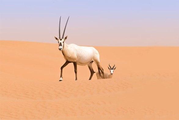 UAE National Animal