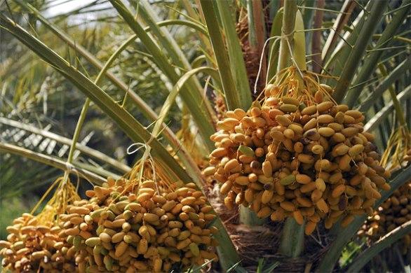 United Arab Emirates National Fruit