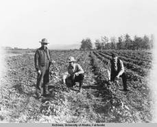 Three men in a potato patch in Pilgrim Hot Springs, Alaska. 1907. Photo credit: UAF-1973-203-30, Cordelia L. M. Noble Collection.