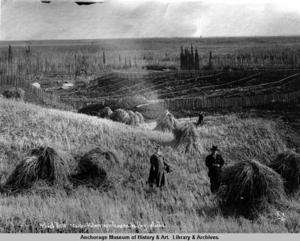 Wheat field, Manley Hotsprings, Alaska. Photo credit: AMRC-b01-41-159, O.D. Goetze Collection.