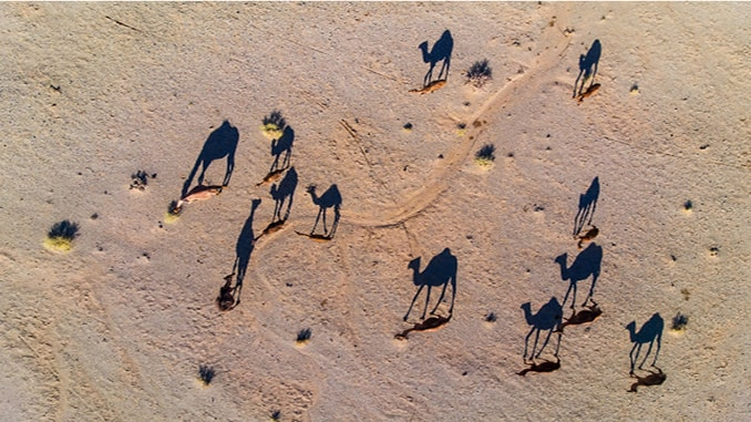 Camels cast a long shadow