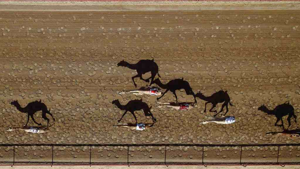 camel racing drone uae dubai
