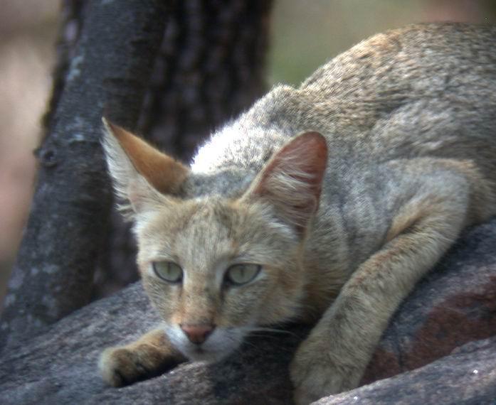 قطة الادغال قطة صور قطة الصحراء صور كتاب الادغال