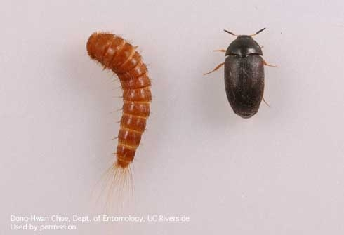 Carpet Beetle Larvae Pictures Www Resnooze Com