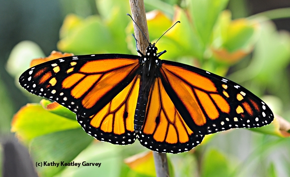 A newly emerged male monarch. (Photo by Kathy Keatley Garvey)