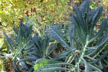Kale is an easy winter crop.