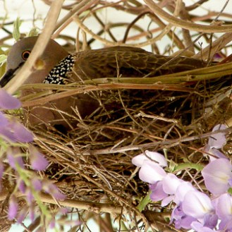 Spotted Dove sitting quietly on her nest in the Wisteria