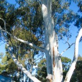 Uccello Lane - Early Days - Ghost Gums