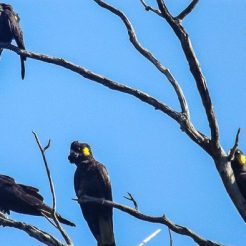 Yellow Tailed Black Cockatoo in the tree as a pack