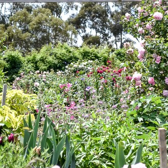 Lush garden beds with roses, iris and wonderful color