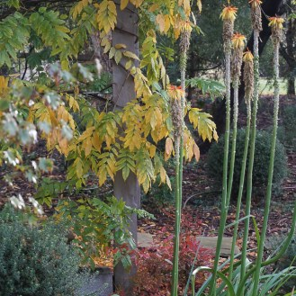 Westringia and Red Hot Pokers - and the Wisteria