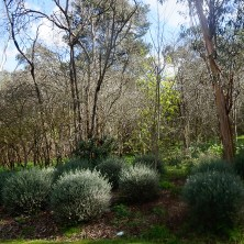 Westringia and Gums - Plants