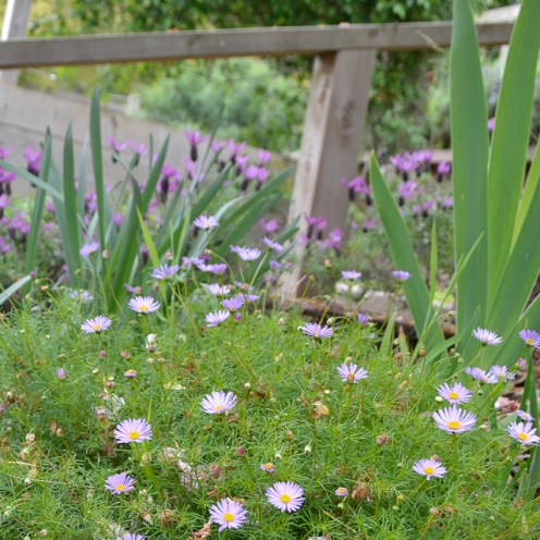 Lavender and Iris with Scabious