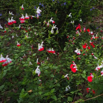 Salvia - part of a hedge