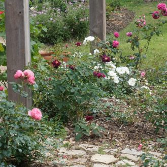 Roses with geraniums in the background