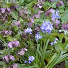 Hellebores and Bluebells