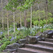 Birch Forest and Daffodils