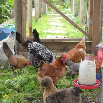Chooks and Greens - and Ms. Silkie