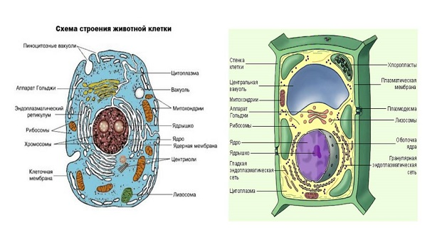 Клетка человека ее строение и функции таблица