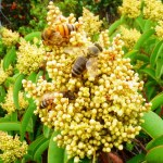 three western honeybees forage on a cluster of tiny yellow spherical flowers