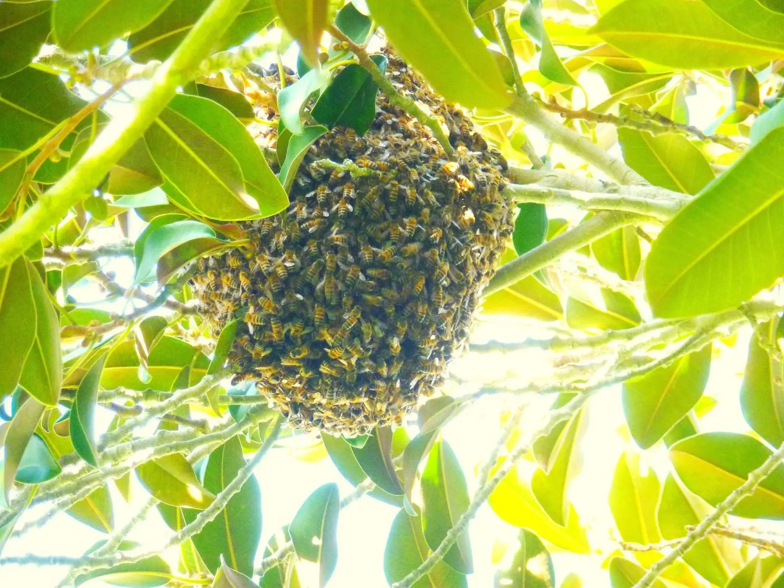 hundreds of honey bees form a spherical swarm within the branches of a tree