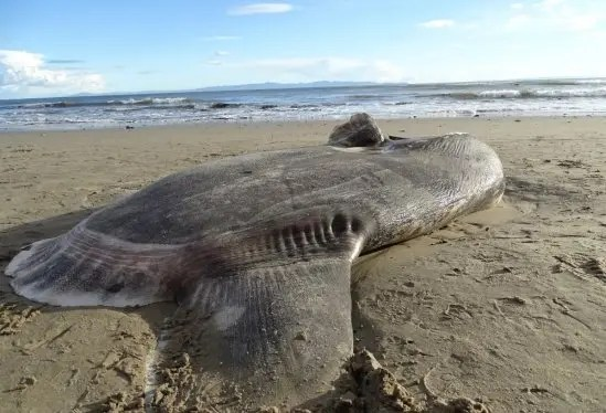 sunfish lies on its side on the sandy beach with the surf line in the background