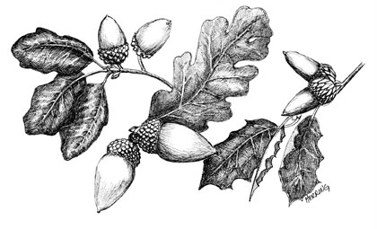 Leaves and acorns from three native oak species:  (left) blue, (center) valley, and (right) live. Art by Margaret L. (Peg) Herring.