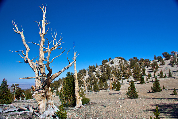 Weather station data enables scientists connect ecological observations, such as the advance of bristlecone pines to higher elevations in the White Mountains, to changes in climate. Image credit: Lobsang Wangdu
