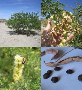 catclaw acacia Acacia greggii Apis mellifera scutellata Africanized honeybee