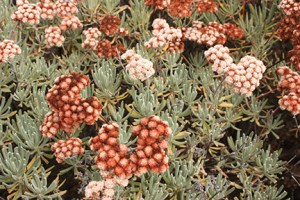 Santa Cruz Island buckwheat (Eriogonum arborescens) is an endemic shrub found only on Santa Cruz, Santa Rosa and Anacapa islands. Image credit: Lyndal Laughrin