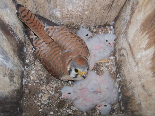 A parent kestrel minds its five fuzzy chicks within a reserve nest box. Image credit: Cami Vega