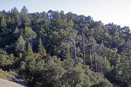 Modern climate conditions are favoring smaller conifers in drought-stressed areas of California's mountains. Photo of Landels-Hill Big Creek Reserve forest by Lobsang Wangdu/NRS