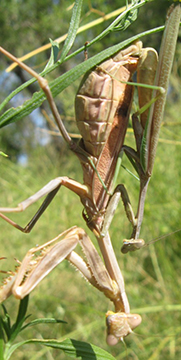 A pair of Stagmomantis limbata mantises cook up a new generation. Image credit: Kevin Gallego